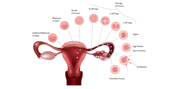 From Ovulation to Implantation